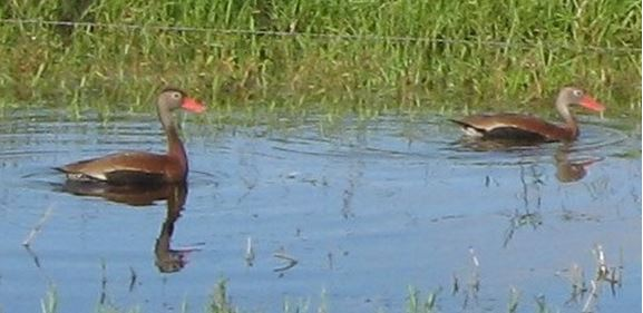 The Black-Bellied Whistling Duck