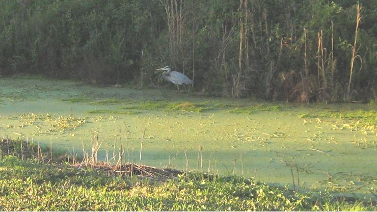 The Blue Heron and Green Water