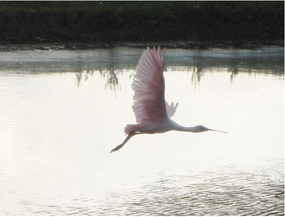 The Flying Spoonbill