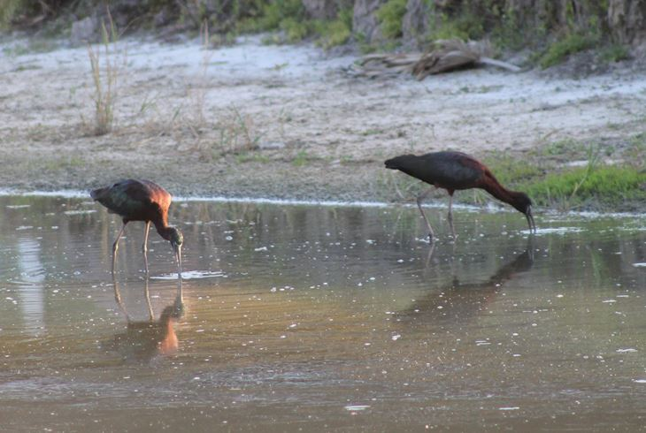 The Glossy Ibis