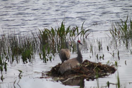 The Nest of Sand Hill Cranes