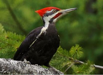 The Pilated Woodpecker